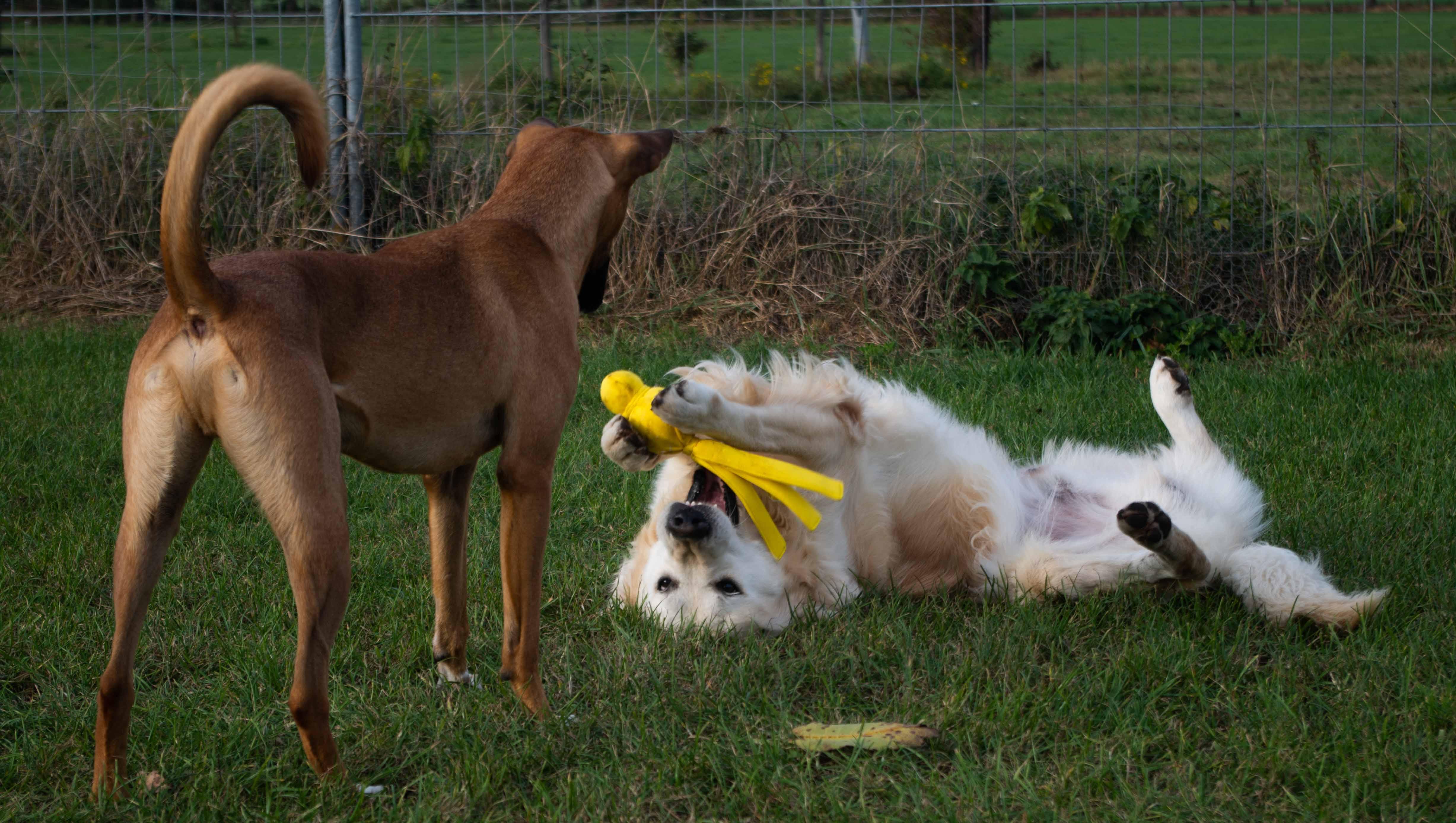 Twee honden die spelen.