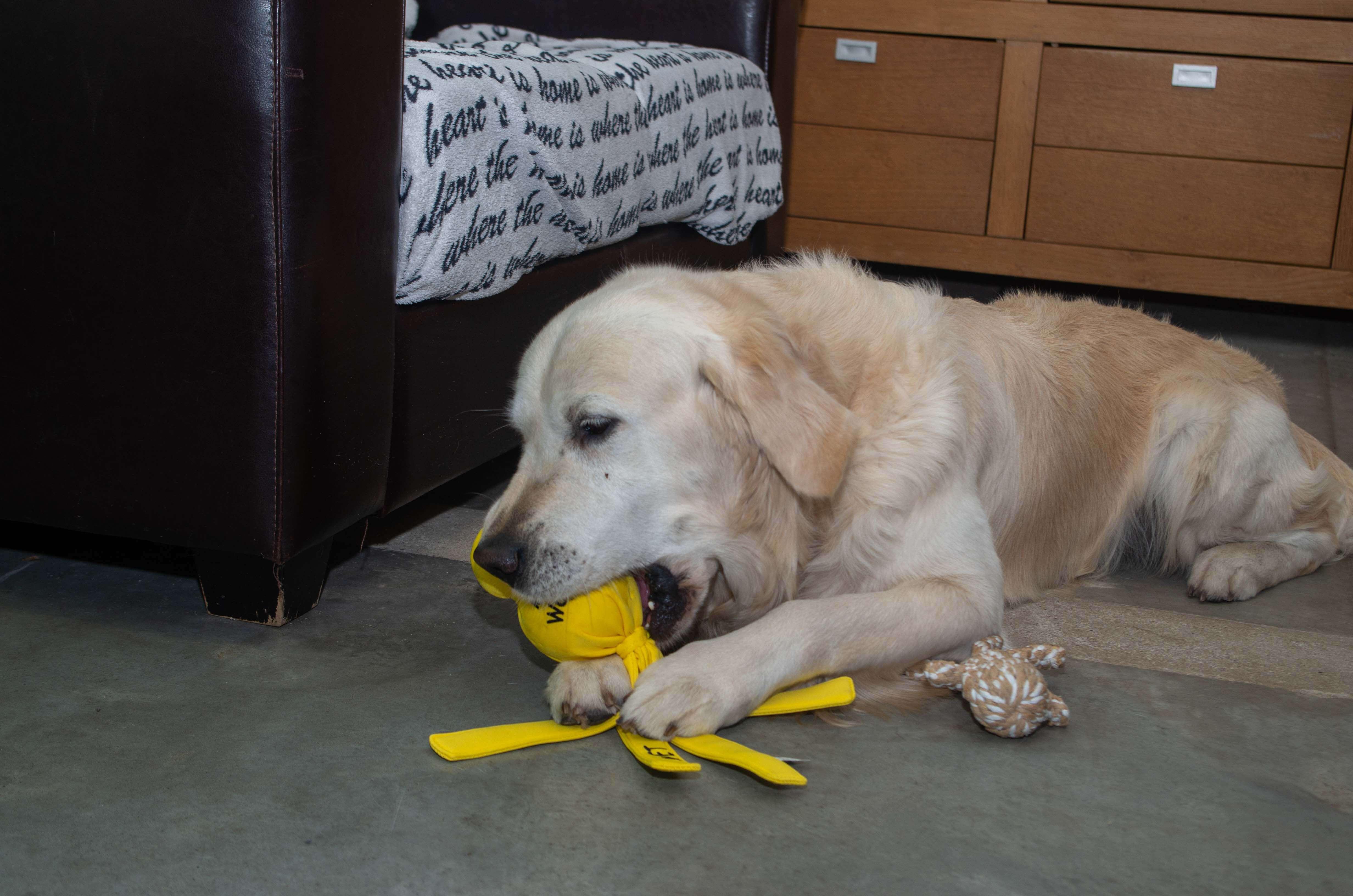 Hond die ligt te bijten op een speeltje